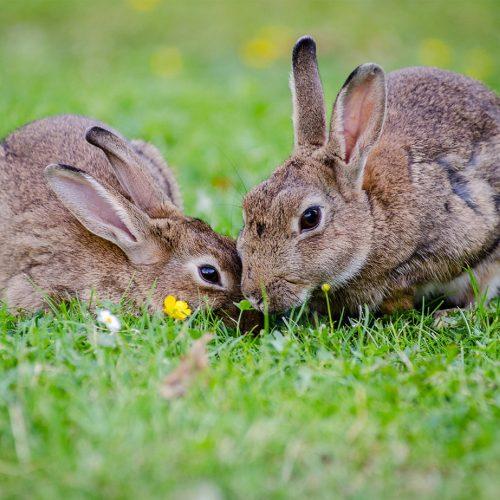 Release of Rabbit Virus   Ark Vets