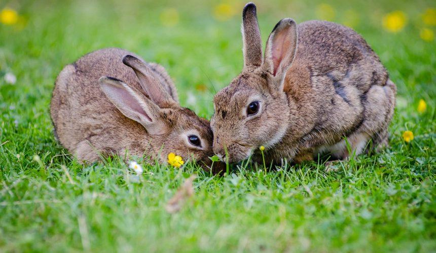 Release of Rabbit Virus | Ark Vets