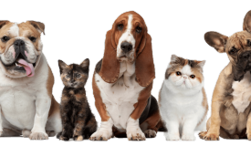 Seasonal allergies in dogs and cats